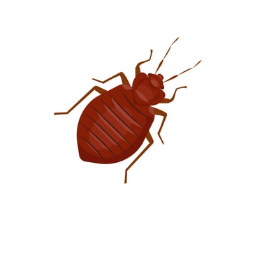 Home Bed Bug Treatments bedbugs pluskwa