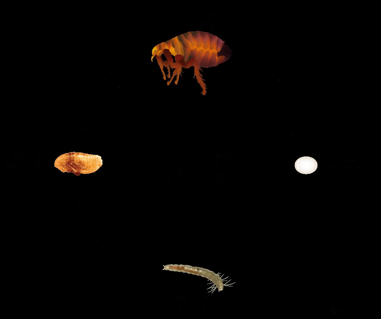 flea lifecycle fleas